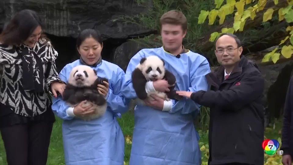 สวนสัตว์เบลเยียม เปิดตัวลูกแพนด้ายักษ์แฝด