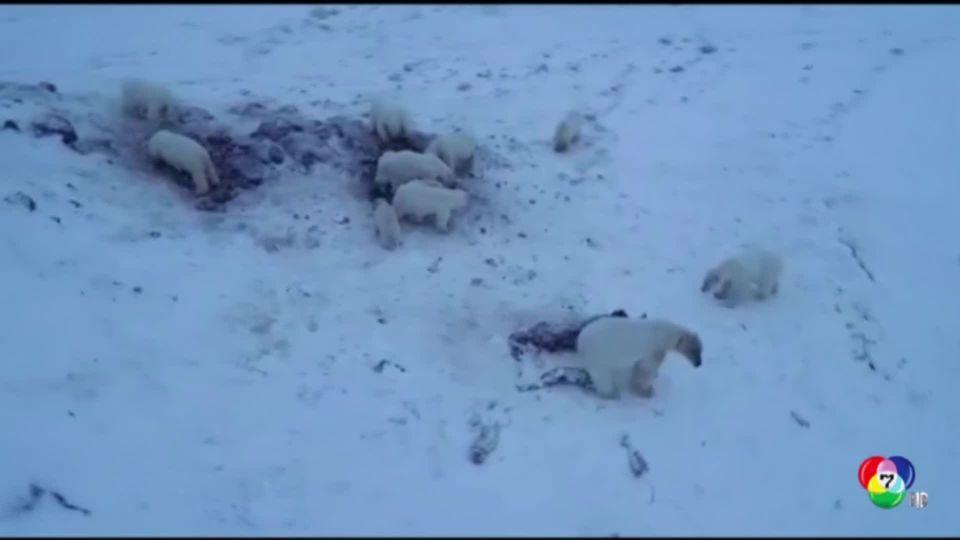 หมีขั้วโลก 56 ตัว รุมกินซากวอลรัส ประทังความหิว ในรัสเซีย