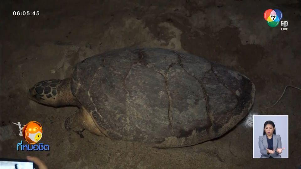 เปิดภาพหาดูยาก นาทีชีวิตแม่เต่ากระวางไข่บนชายหาดเกาะสมุย