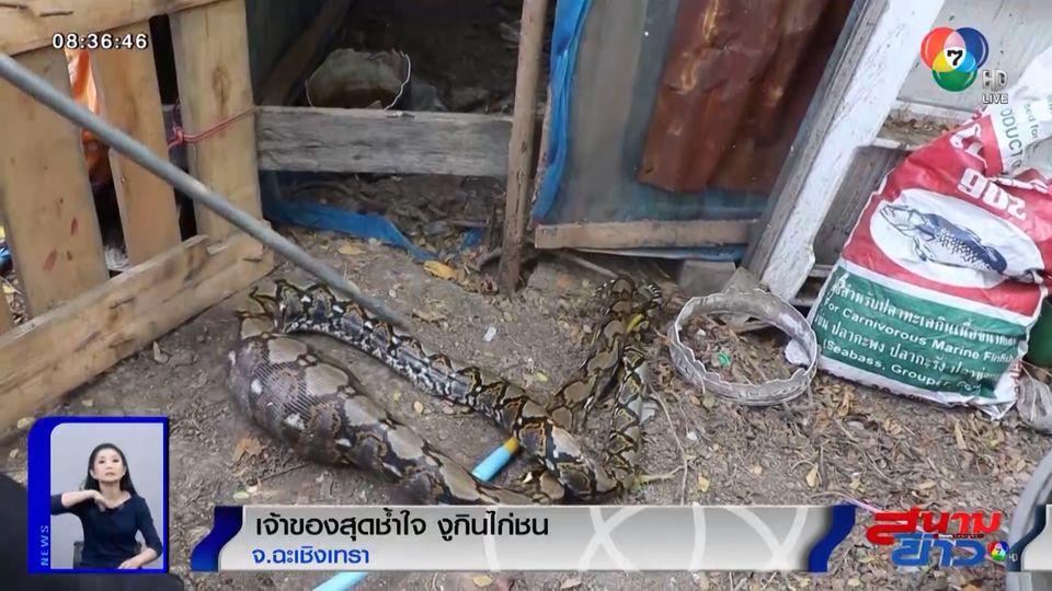 ภาพเป็นข่าว : เจ้าของสุดช้ำ! งูตัวแสบบุกบ้านกินของแพง เขมือบไก่ชนราคา 4,500 บาท