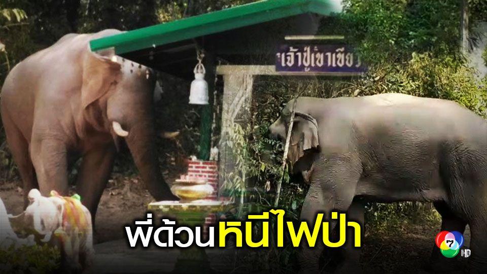 พี่ด้วนช้างป่าเขาใหญ่หนีไฟป่าเปลี่ยนทิศหากิน