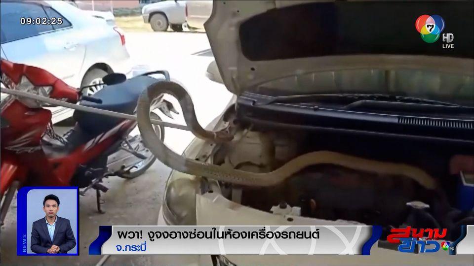ภาพเป็นข่าว : ผวา! งูจงอางซ่อนในห้องเครื่องรถยนต์ จ.กระบี่