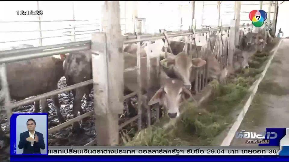 วิถีภูธร ตะลอนเมืองกรุง : วัวเลี้ยงระบบฟาร์มกับการเลี้ยงแบบบ้านๆ