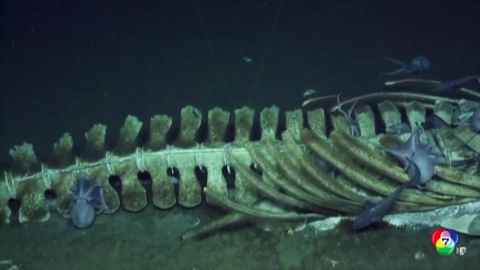 นักสำรวจเผยภาพโครงกระดูกวาฬใต้ท้องทะเลลึกในสหรัฐฯ