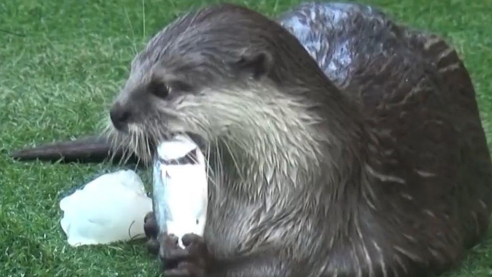 สวนสัตว์ขอนแก่น รับมืออุณหภูมิร้อนระอุ จัดเมนูแช่แข็งให้สัตว์กิน