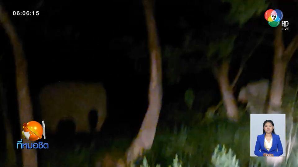 เตือนอันตราย ช้างป่าเขาใหญ่ เจ้างาเบี่ยง ขวางถนน บุกกินพืชผลชาวบ้าน