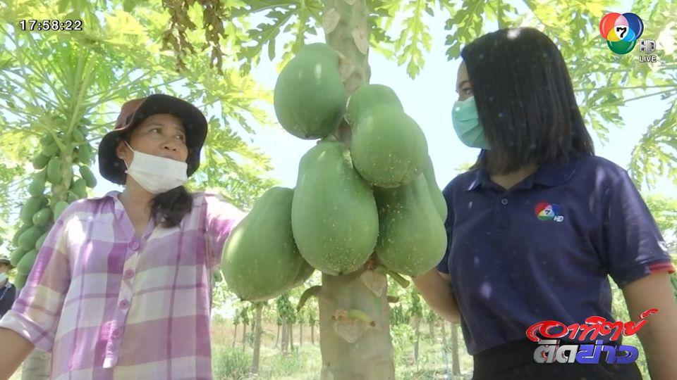 วิถีภูธร & ตะลอนเมืองกรุง : ชาวสวน จ.เพชรบุรี ปลูกมะละกอ ต่อชีวิต