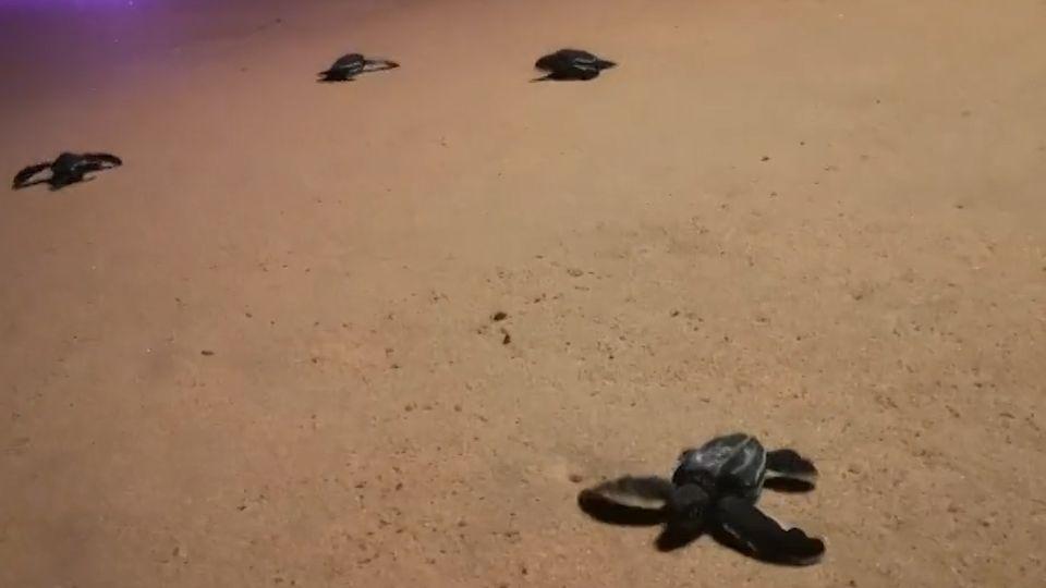 ลูกเต่ามะเฟืองรังที่ 2 ชายหาดบ่อดาน ออกจากไข่ลงสู่ทะเลแล้ว 49 ตัว