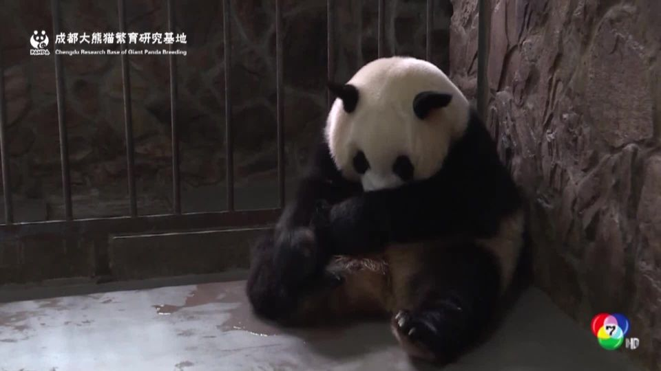 จีนเผยตัวลูกแพนด้าตัวเบาที่สุดในโลก น้ำหนักตัวเพียง 43 กรัม