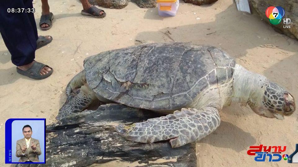 ภาพเป็นข่าว : เต่าตนุตายเกยหาดแหลมตะลุมพุก พบพลาสติกเต็มท้อง