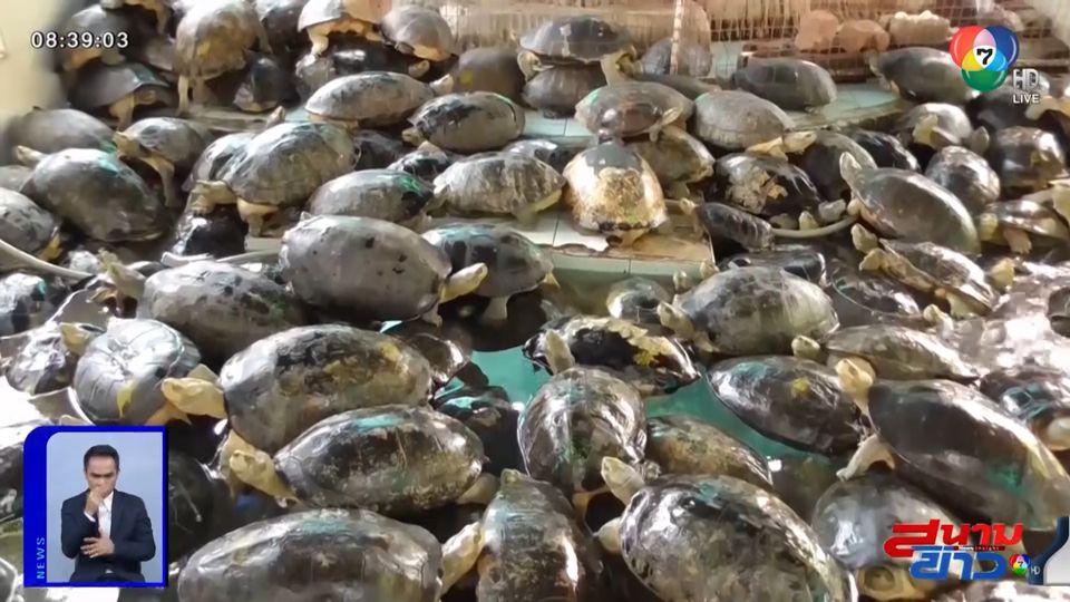 ภาพเป็นข่าว : เต่าล้นบ่อ เพราะมีคนเอามาปล่อยในวัด กรมอุทยานเตรียมอายัดเต่า 500 ตัว