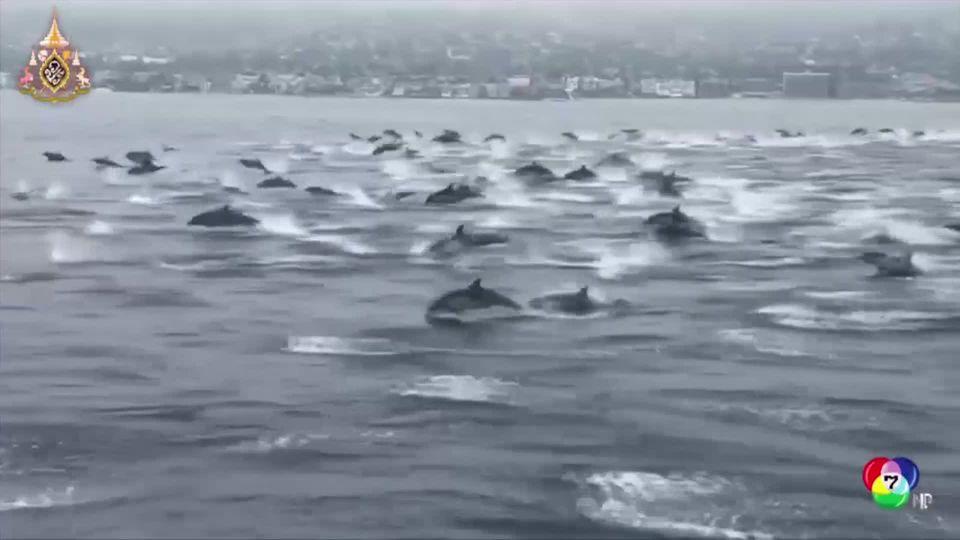 ภาพฝูงโลมากว่าร้อยตัวว่ายเคียงข้างเรือในสหรัฐฯ