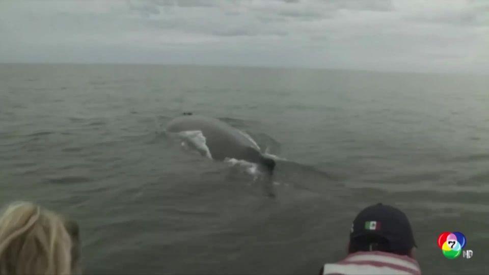 กลุ่มพิทักษ์สัตว์ช่วยเหลือวาฬหลังค่อมที่ชายฝั่งเม็กซิโก