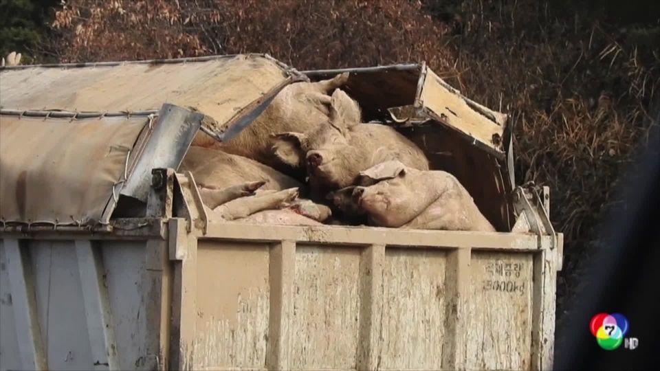 เกาหลีใต้สั่งฆ่าหมูหลายแสนตัว ป้องกันโรคไข้หวัดหมูแอฟริกา