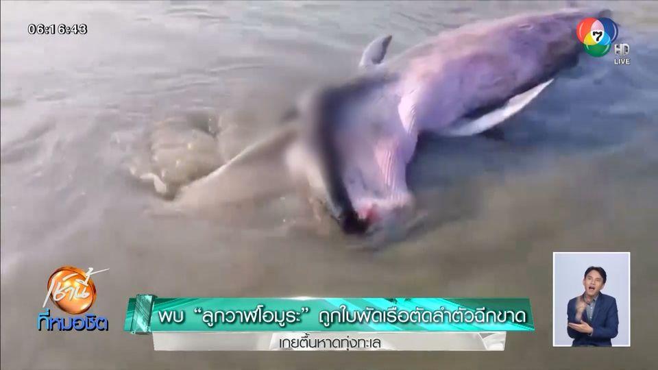 พบ ลูกวาฬโอมูระ สายพันธุ์หายาก ถูกใบพัดเรือตัดลำตัวฉีกขาด เกยตื้นหาดทุ่งทะเล