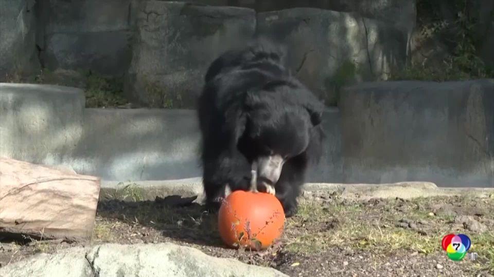 สวนสัตว์สหรัฐฯ ให้ฟักทองสัตว์ต้อนรับเทศกาลวันฮาโลวีน
