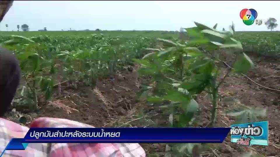 ข่าวเกษตร : ปลูกมันสำปะหลังระบบน้ำหยด