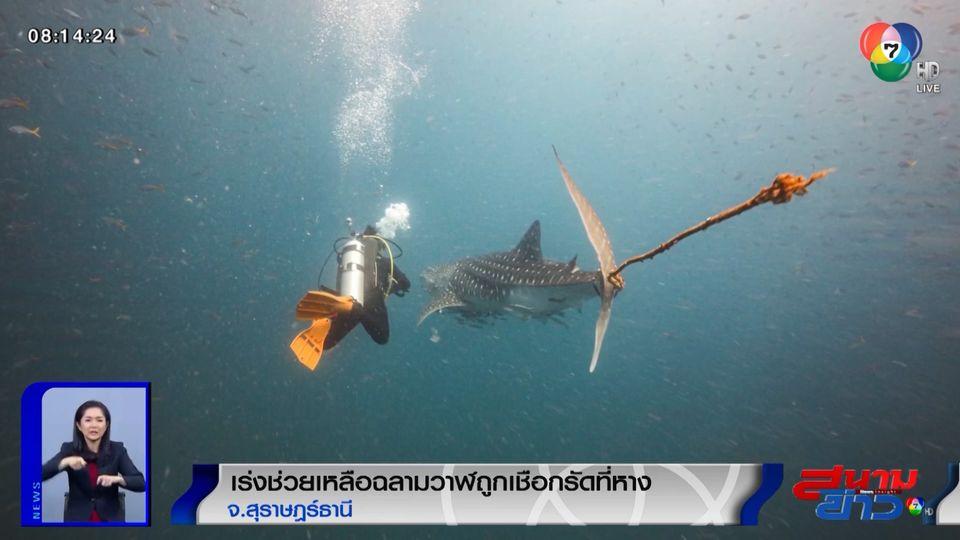 ภาพเป็นข่าว : เร่งช่วยเหลือฉลามวาฬถูกเชือกรัดที่หาง จ.สุราษฎร์ธานี
