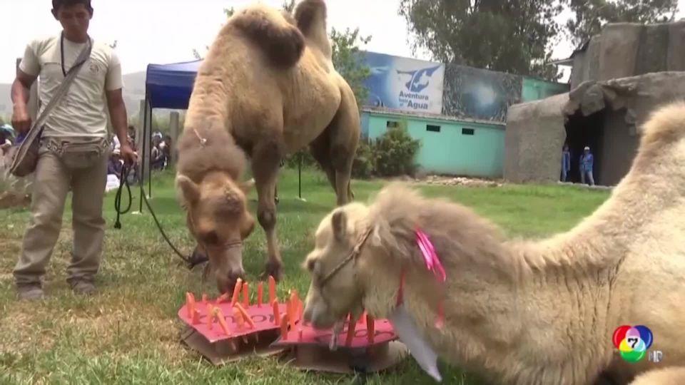 สวนสัตว์เปรูจัดงานแต่งงานให้อูฐในวันวาเลนไทน์