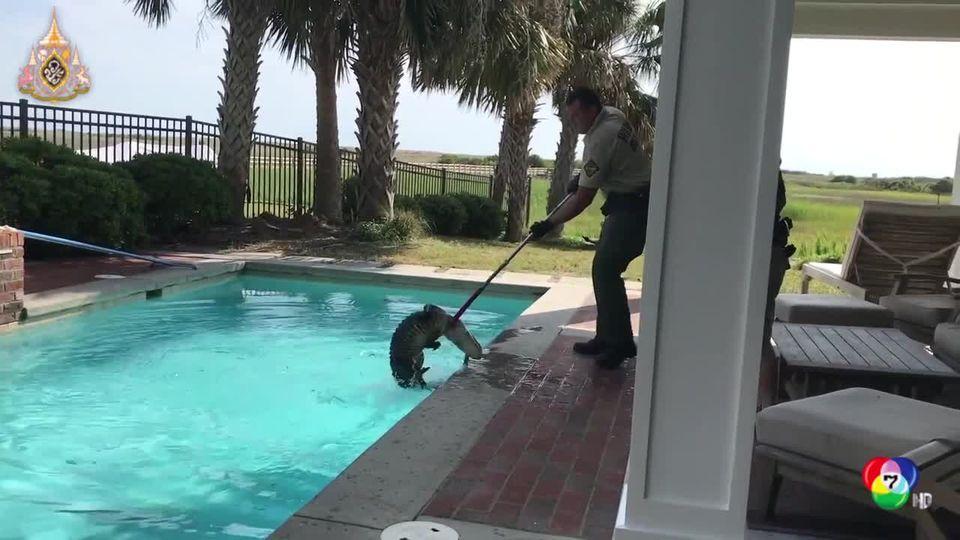 พบจระเข้น้ำเค็มในสระว่ายน้ำของบ้านพักที่สหรัฐฯ