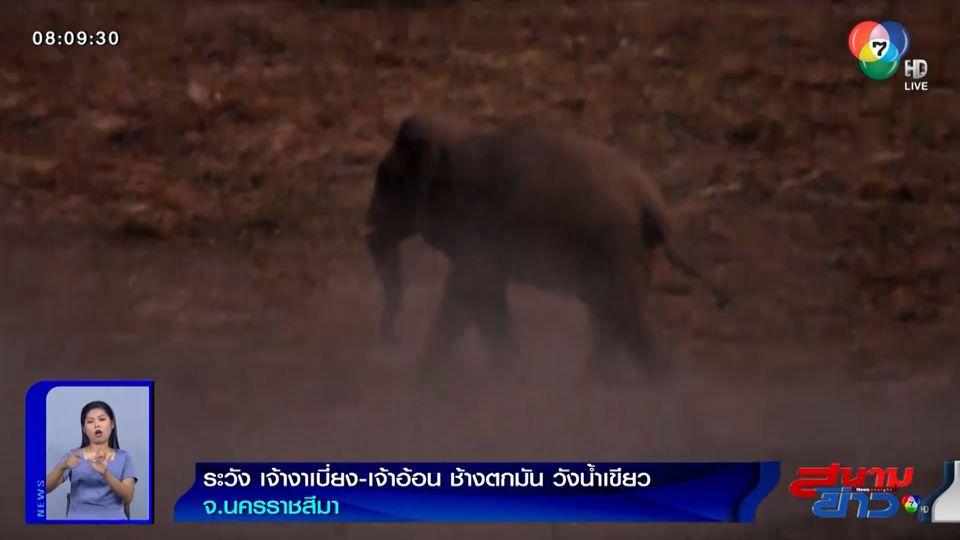 ภาพเป็นข่าว : เตือนระวัง เจ้างาเบี่ยง-เจ้าอ้อน ช้างตกมัน วังน้ำเขียว จ.นครราชสีมา