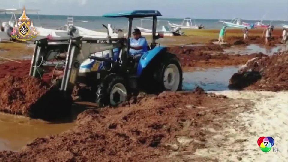 สาหร่ายแดงระบาดริมชายหาดในเม็กซิโกกระทบการท่องเที่ยวอย่างหนัก