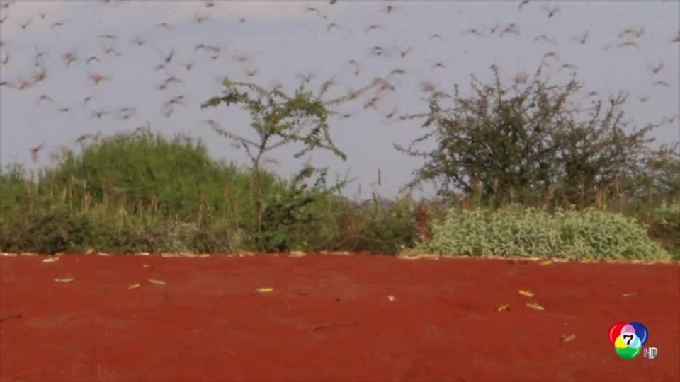 ฝูงตั๊กแตนถล่มพื้นที่เกษตรในเคนยา