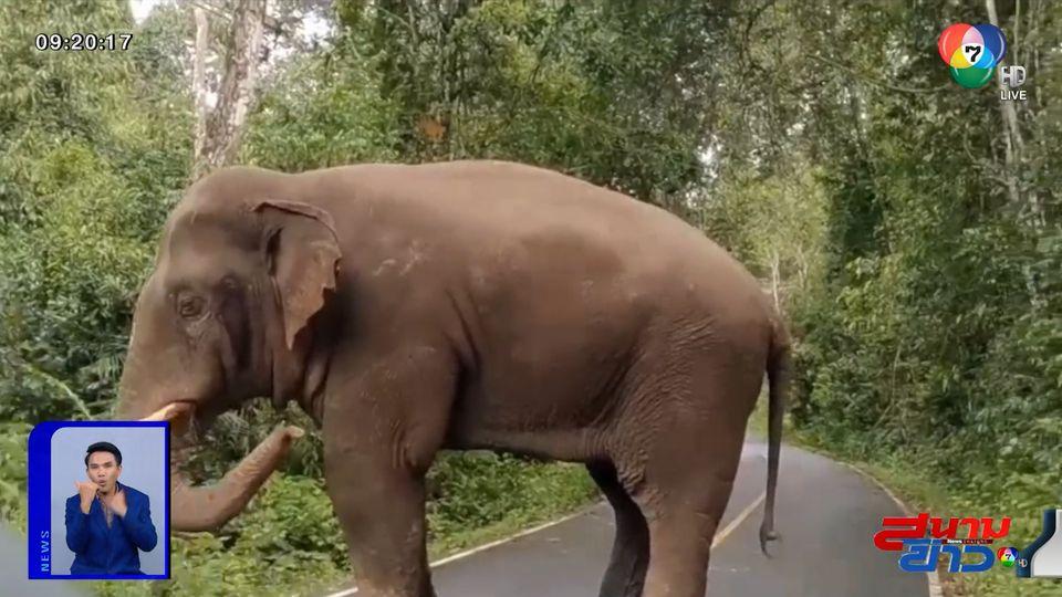รายงานพิเศษ : ระวังช้างป่าเขาใหญ่ตกมัน
