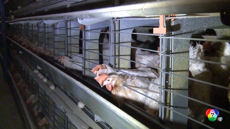 โปแลนด์ สั่งฆ่าสัตว์ปีกกว่า 100,000 ตัว หลังพบไข้หวัดนกระบาดอีกครั้ง