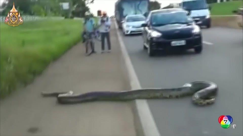 ภาพนาทีระทึก อนาคอนดาเลื้อยข้ามถนนในบราซิล