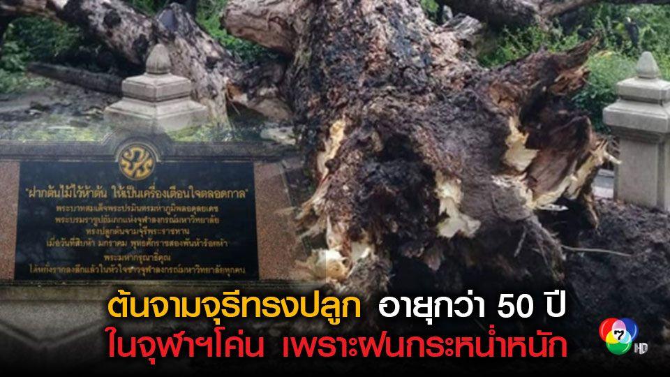 ชาวจุฬาฯใจหายต้นจามจุรีทรงปลูกอายุกว่า 50 ปีโค่นเพราะพายุฝนกระหน่ำ