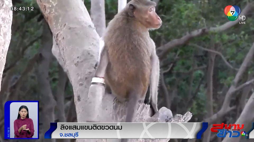 ภาพเป็นข่าว : น่าสงสาร! ลิงแสมแขนติดขวดนมนานกว่า 1 เดือน แผลติดเชื้อบวมเป่ง