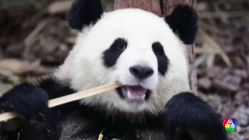 สุดน่ารัก! เผยภาพแพนด้ายักษ์ 4 ตัวกินต้นไผ่กลางหิมะในจีน