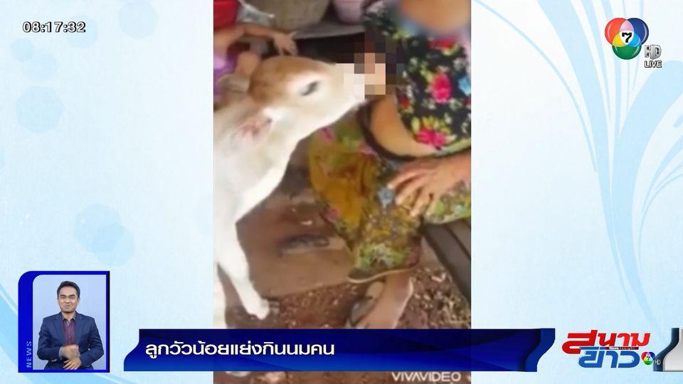 ภาพเป็นข่าว : ลูกวัวน้อยแย่งกินนมคน