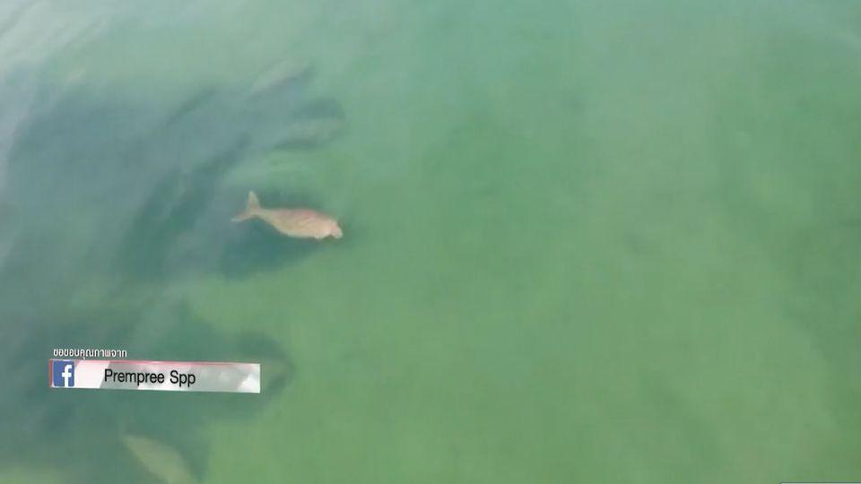 ภาพหาชมยาก ฝูงพะยูนแหวกว่ายในทะเลตรัง อย่างมีความสุข