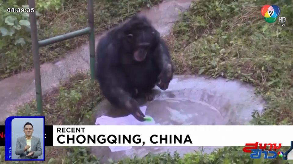 ภาพเป็นข่าว : สุดฉลาด! ลิงชิมแปนซีคว้าสบู่และแปรง ซักผ้าเลียนแบบมนุษย์