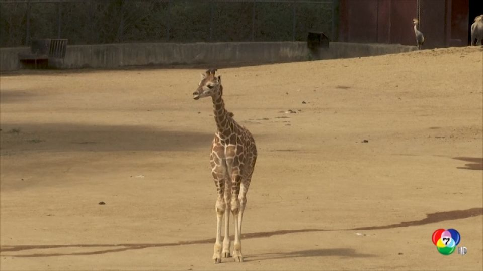 สวนสัตว์ชาปุลเตเป็กเปิดตัวลูกยีราฟเกิดใหม่ต่อหน้าสาธารณชน