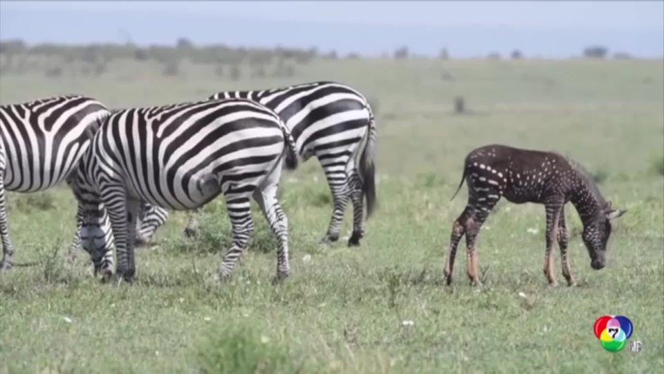 หายาก ลูกม้าลายจุดขาว-ตัวดำ ในอุทยานแอฟริกา