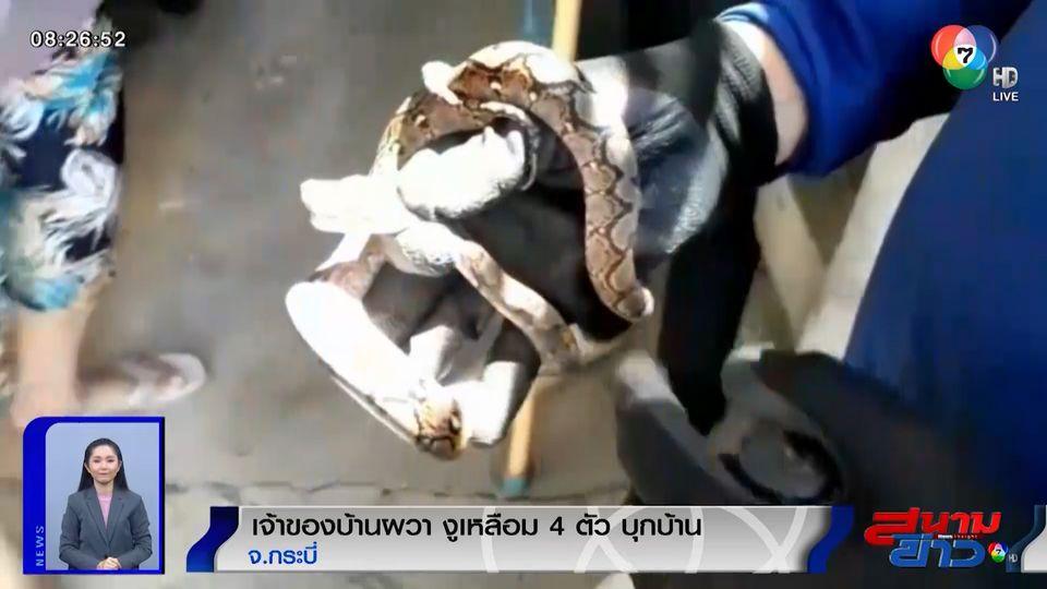ภาพเป็นข่าว : เจ้าของบ้านผวา! ลูกงูเหลือม 4 ตัว บุกบ้าน จ.กระบี่