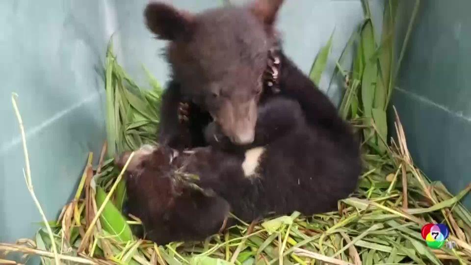 องค์กรอนุรักษ์ Free the Bears ช่วยลูกหมีควาย 5 ตัว ที่ถูกกักขังใน สปป.ลาว