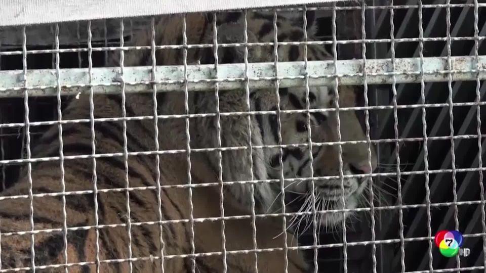 เสือติดค้างอยู่ชายแดนโปแลนด์ จนอดอาหารตาย