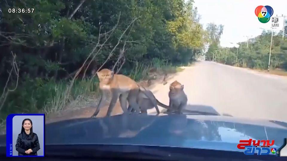 ภาพเป็นข่าว : ถึงกับผวา! ฝูงลิงแสมอาละวาดหนัก กระโดดขึ้นรถขออาหาร จ.กระบี่