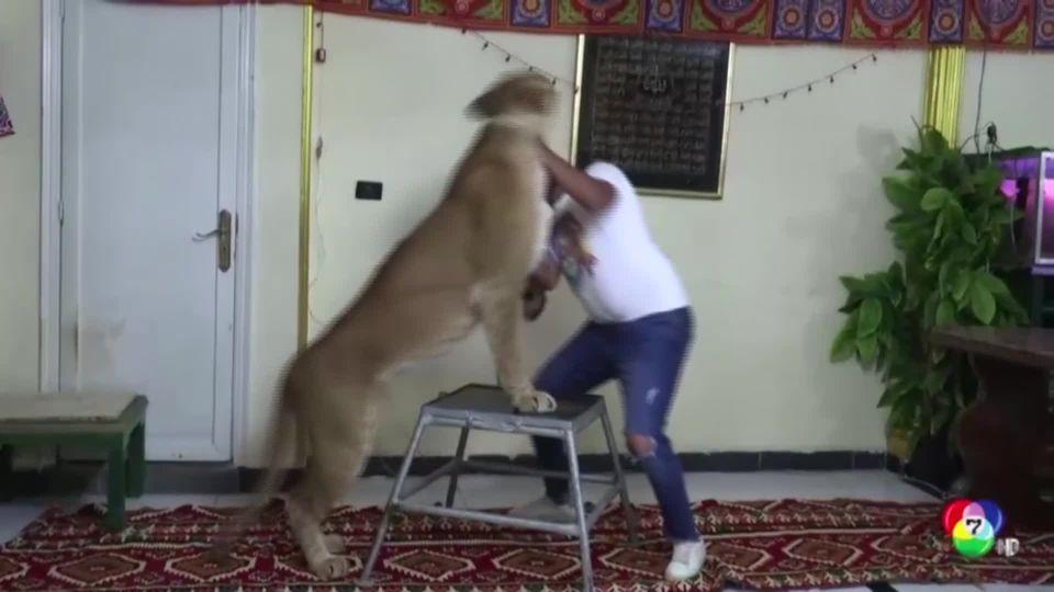 โชว์สิงโตที่บ้านในอียิปต์ ช่วงโควิด-19 ระบาด