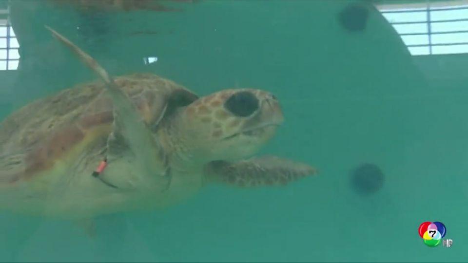 นักวิทยาศาสตร์เผยผลวิจัย เต่าทะเลกินพลาสติก เพราะมีกลิ่นคล้ายแพลงก์ตอน
