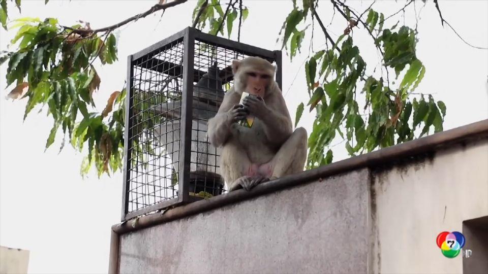 ลิงขโมยแว่นแลกน้ำส้มในอินเดีย