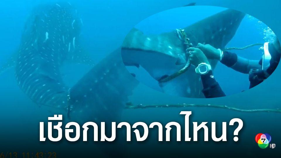 กลุ่มครูดำน้ำเกาะเต่า เร่งช่วยฉลามวาฬ เชือกติดหางบาดเจ็บ