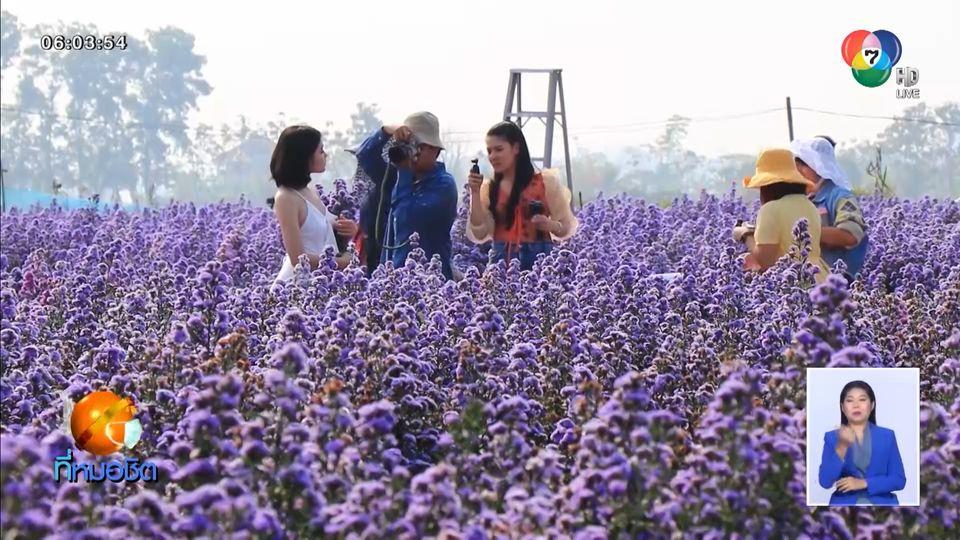 นักท่องเที่ยวแห่ชมทุ่งเรนโบว์มากาเร็ต สวนไม้ดอกที่เชียงใหม่คึกคัก