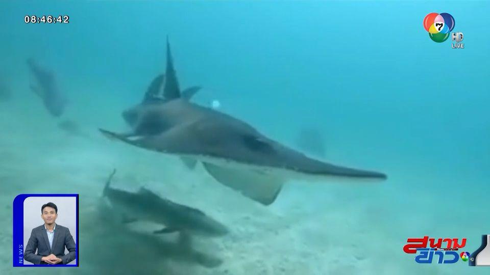 ภาพเป็นข่าว : นักดำน้ำโชคดี เจอปลาโรนันที่แสมสาร ว่ายอวดโฉมแบบใกล้ชิด