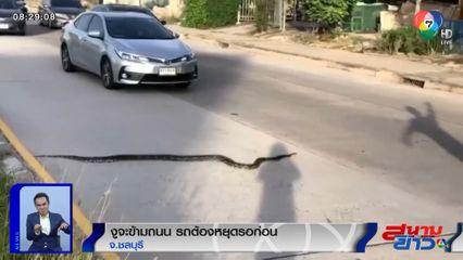 ภาพเป็นข่าว : วุ่นไปหมด งูจะเลื้อยข้ามถนน รถต้องหยุดรอให้ข้ามไปก่อน