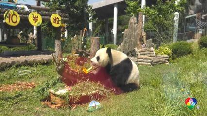 ฉลองวันเกิดครบ 1 ปี ลูกแพนด้ายักษ์ในจีน